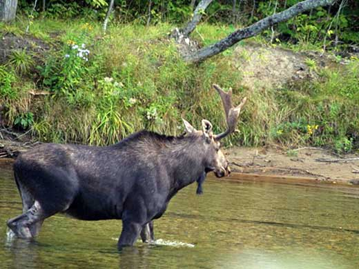 Moose on Saco River